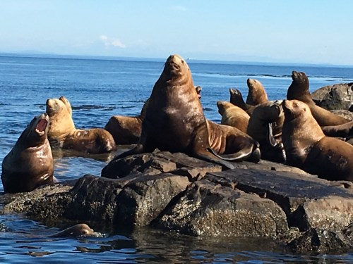 small resolution of northern steller sea lion also a branded one in this photo haul out near the docks and on the isthmus under the light tower