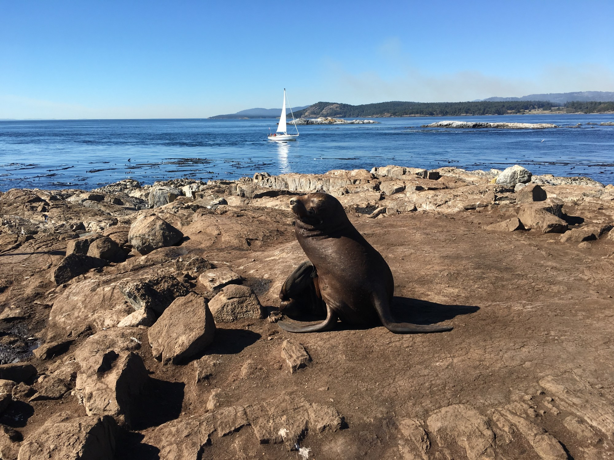 hight resolution of california sea lion in the area