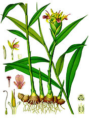 Ginger plant and rhizomes