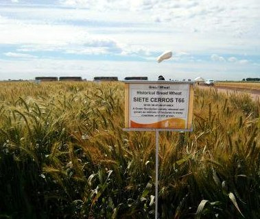 Green Revolution wheat