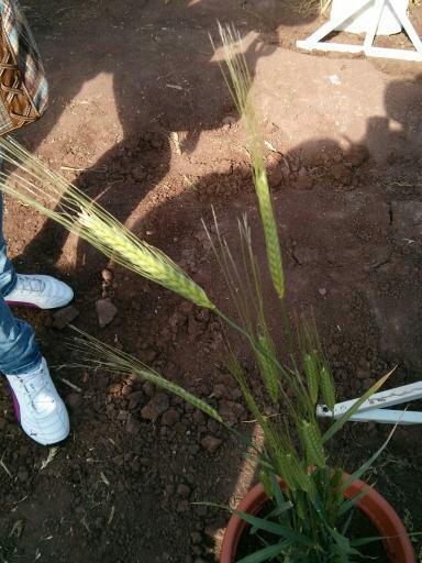 Einkorn for interbreeding with modern wheats