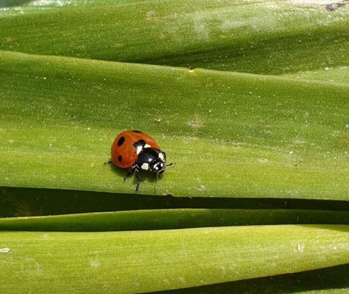 #MySundaySnapshot - Hello Ladybird 25/52 (2019)