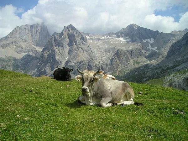 Glückliche Kuh in den Dolomiten