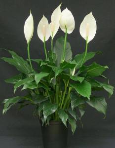 AIR PURIFYING PEACE LILY PLANTS