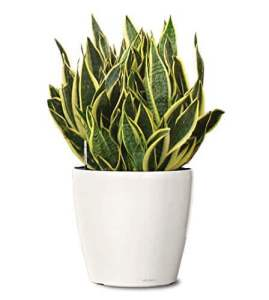 Air purifying Snake plant