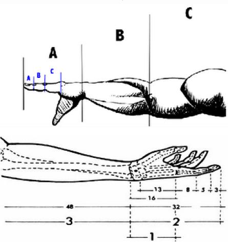 Fibonacci no corpo humano - dimensões de braços e mãos