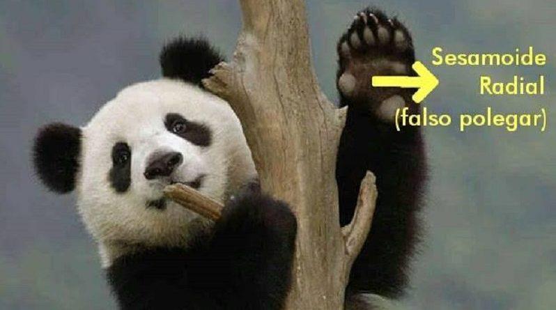 O Design Inteligente no Pseudo-Polegar do Urso Panda