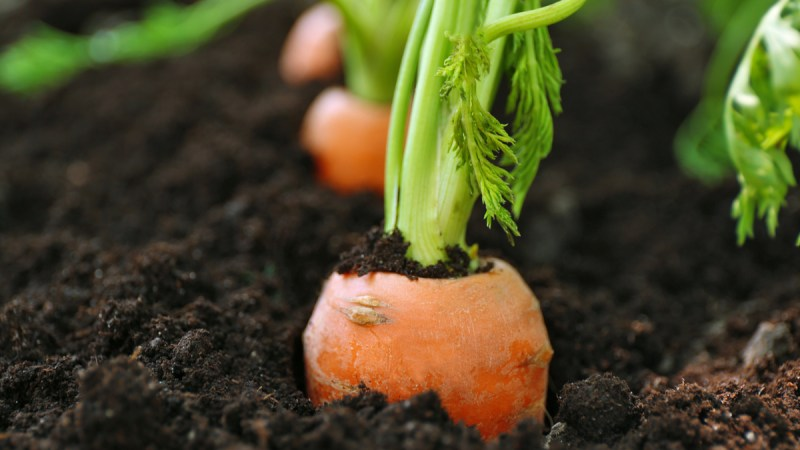 close up of carrot in soil
