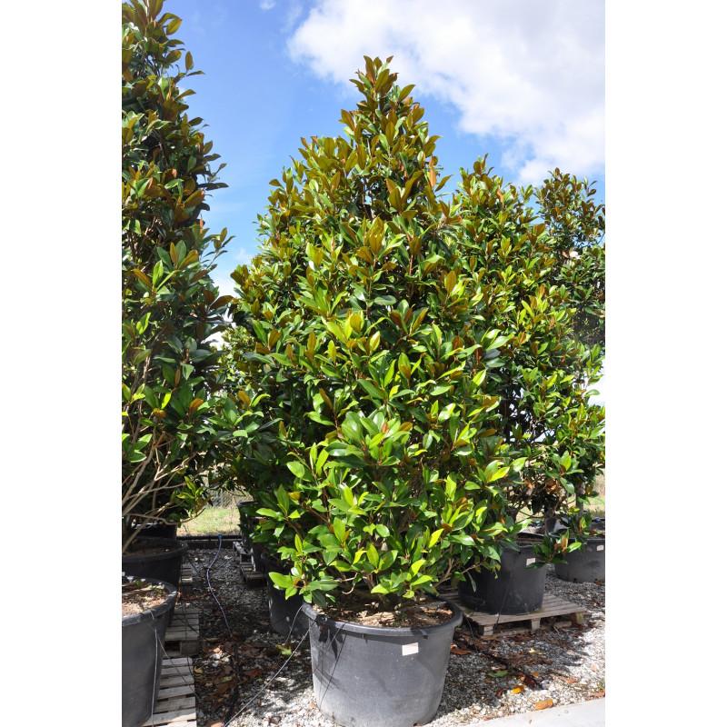 magnolia grandiflora buisson 375 cm