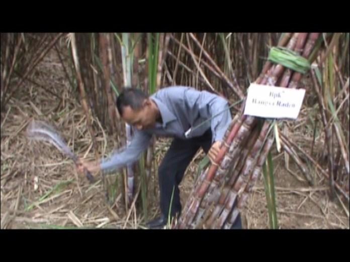 Berkat Pupuk Randek-Beka, Panen Tebu Raden Capai 173 Ton Perhektar