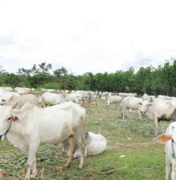 Kebut Panen Pedet (Anak Sapi), Pemprov Kerjasama Dengan Kementerian Pertanian Melalui Program Upsus Siwab