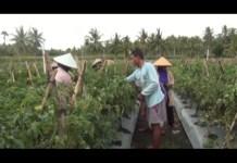 Petani Cabai di Lamsel Pakai Metode Tumpang Sari