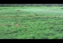 Ratusan Hektar Sawah Dipastikan Gagal Panen