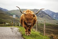 Hairy Highland cattle