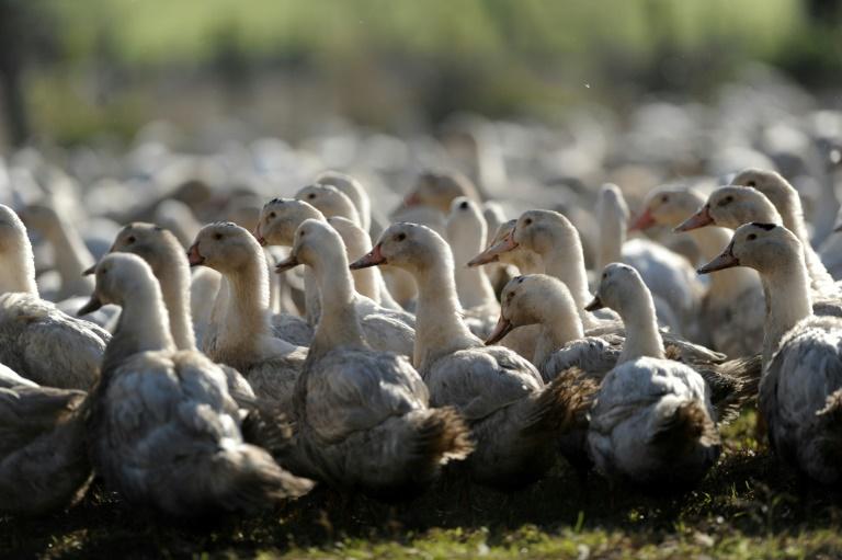 Abattage massif de canards d'élevage dans 150 communes du Sud-Ouest de la France. © AFP