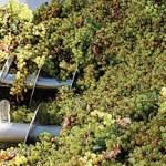 La cosecha de uva sobrepasó los 34 millones de kilos de uva