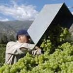 La cosecha de uva se acerca a los 28 millones de kilos
