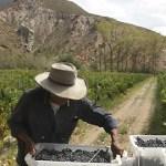 Se llevan cosechados más de 36 millones de kilos de uva
