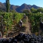 La cosecha de uva alcanza los 40 millones de kilos