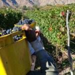 Más de 31 millones de kilos de uva cosechados hasta ahora
