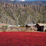 El secado de pimientos ofreció verdaderas postales del Valle Calchaquí