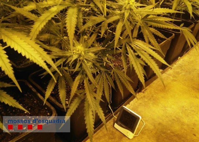 Les plantes de marihuana a la nau del Carrer de Pals de Palafrugell | Imatge dels Mossos d'Esquadra