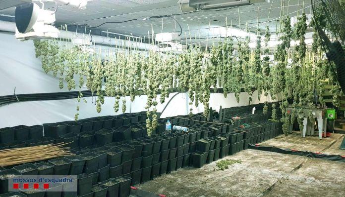 La plantació de marihuana a Vulpellac   Imatge dels Mossos
