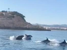 Un grup de dofins a Sant Feliu de Guíxols   Imatge del vídeo de Nuri Rabell