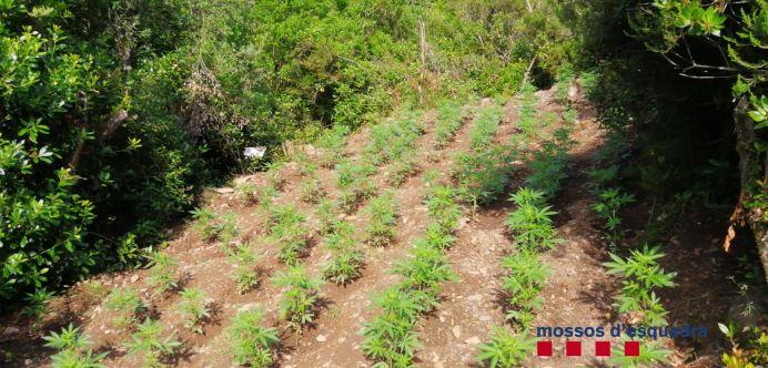marihuana cruilles 2