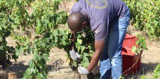 Pla obert d'un treballador recollint raïm a la vinya de la Guilla de Garriguella en l'inici de la verema de la DO Empordà el 24 d'agost de 2020 (Horitzontal) - Imatge de l'ACN