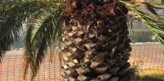 Les palmeres del Port d'Aro, afectades pel morrut roig | Imatge del Club Nàutic