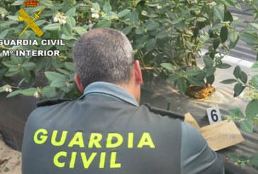 La Guardia Civil ha intervenido más de 100.000 plantas de arándanos