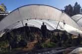 Almonte | La Guardia Civil detiene a un varón por el cultivo de 80 plantas de marihuana en el interior de una finca