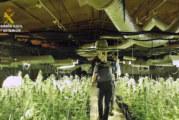 Calañas | La Guardia Civil localiza una plantación de marihuana en un paraje de la localidad