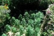 La Guardia Civil interviene 651 plantas de nueve plantaciones de Marihuana en las localidades de Cartaya y Villablanca