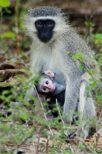 macaca mae e filho