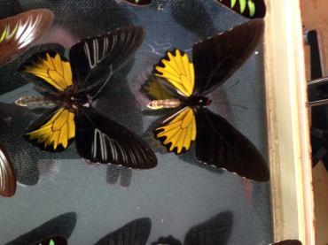 colecție de fluturi la Cluj
