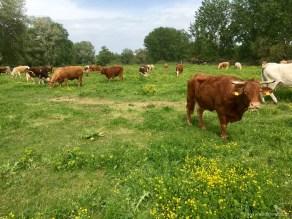 Αγελαδοτροφία