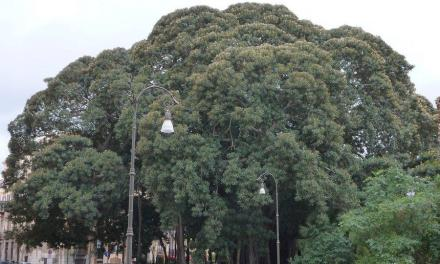 A Palermo si trova l'albero più grande d'Europa