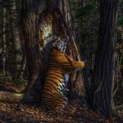 L'abbraccio della tigre per difendere la natura