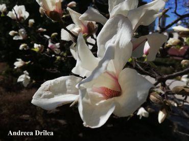 magnolie 9 Iasi A Drilea