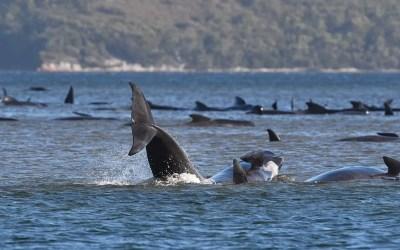 Almost 400 Whales Dead in Tasmania Stranding