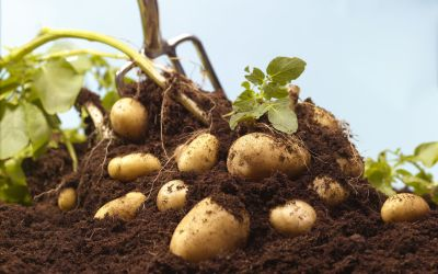 Potato price exploded in South Africa