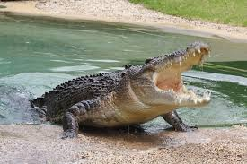 """[LISTEN] """"Escape Artist"""" Crocs Being Lured to Trap Cages for Recapture After Escaping"""