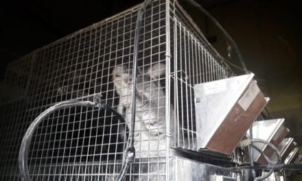 La policía interceptó e impidió el traslado de 60 chinchillas
