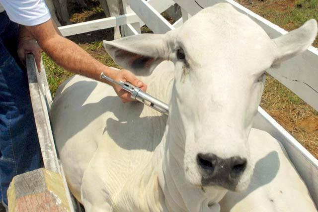 Mais de 95% do rebanho de São Luiz Gonzaga e região foi vacinado contra a febre aftosa