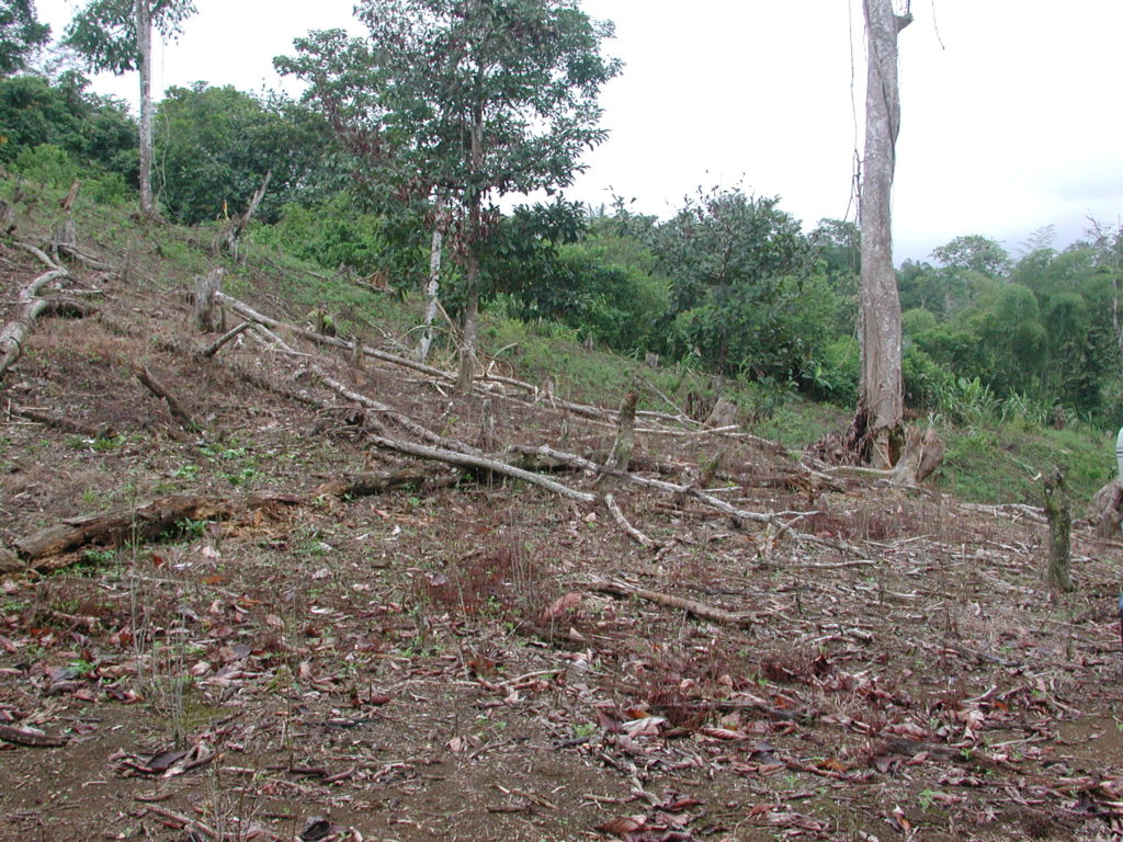 Coca field in the Tumaco region that has been sprayed with herbicides