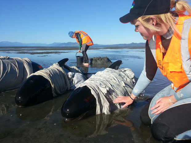 Volunteers care for stranded whales on Farewell Spit earlier this year. Photo: DOC