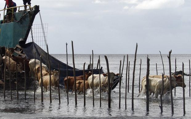 Vanuatu cattle arriving on Ambrym