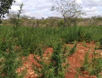 Plantação com 11 mil pés de maconha é erradicada no Sertão